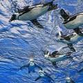 写真: 水中のペンギン
