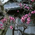 Photos: 近所の梅