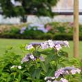 写真: 小岩菖蒲園にて