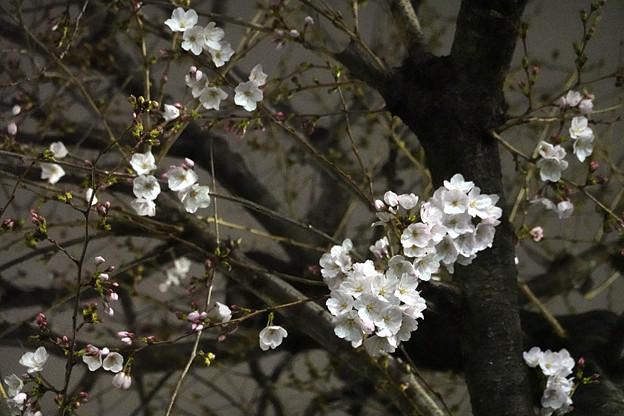 Photos: 近所のソメイヨシノ