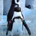 Photos: ケープペンギン