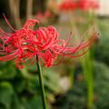 Photos: 庭の彼岸花
