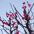 Photos: 哲学堂公園の梅