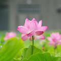 Photos: 不忍池にて