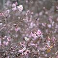 Photos: 冬桜