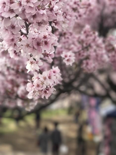 櫻花下的戀人