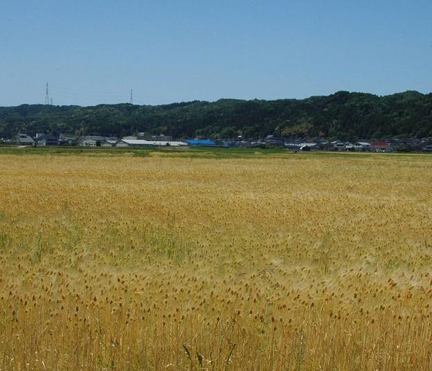 Photos: 麦畑