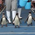 Photos: ペンギンの散歩