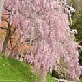 Photos: しだれ桜