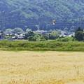 Photos: 雀と麦秋