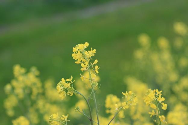 猪名川菜の花