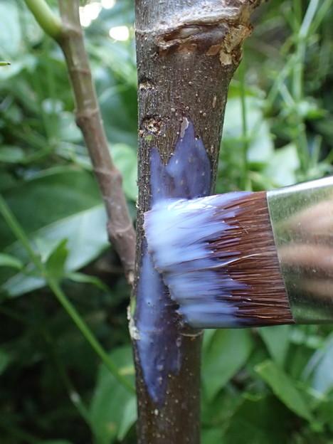 テッポウムシ予防樹脂フィルムをイチジクの木に塗る
