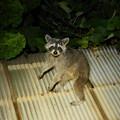 Photos: 対面!二足歩行のアライグマ