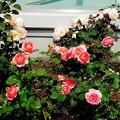 [20170522]大塚駅前 駐輪場の薔薇