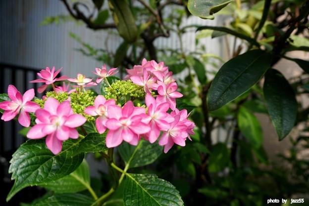 写真: 白山神社境内 紫陽花 其の弐