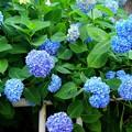 写真: 白山神社境内 紫陽花  其の四