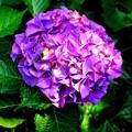 写真: 白山神社境内 紫陽花 其の五