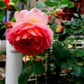 薔薇と紫陽花の散歩道より