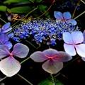 終わり紫陽花        カメラテストですスルーでお願いします。