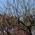 小石川牛神社の 白梅  紅梅