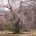 小石川庭園の 枝垂れ桜