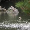 小石川庭園 鴨のいる池