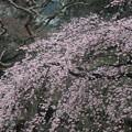 庭園の枝垂れ桜其の四