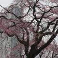 庭園の枝垂れ桜 バックはドームホテル