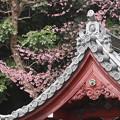 護国寺門前枝垂れ桜