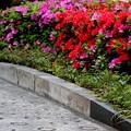 躑躅花盛り
