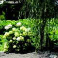 柳の下に白紫陽花