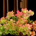 仕舞い柏葉紫陽花
