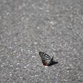 写真: 路面の蝶