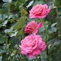 写真: 大塚電沿線の秋 薔薇