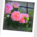 写真: 都電沿線 秋薔薇 ポラロイド風仕上げ