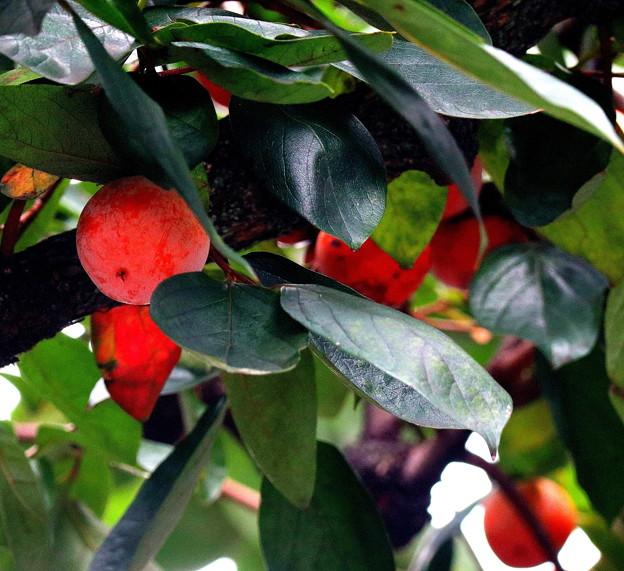 都会の柿は小粒です。
