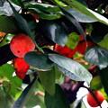 写真: 都会の柿は小粒です。