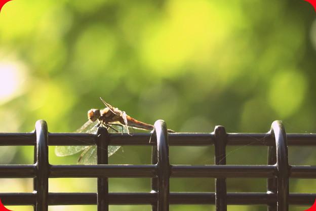 晩秋の蜻蛉