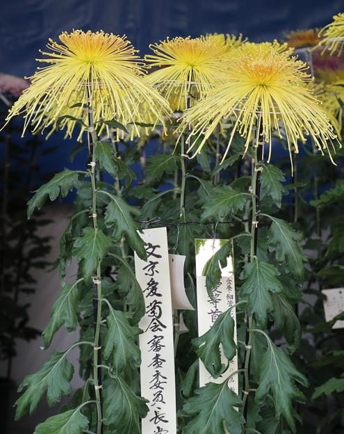 湯島神社菊花展より