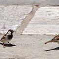雀さんに似た鳥たち→イエスズメさんでした