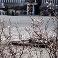 写真: 境内の梅