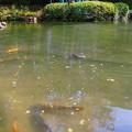 鯉と八角亭