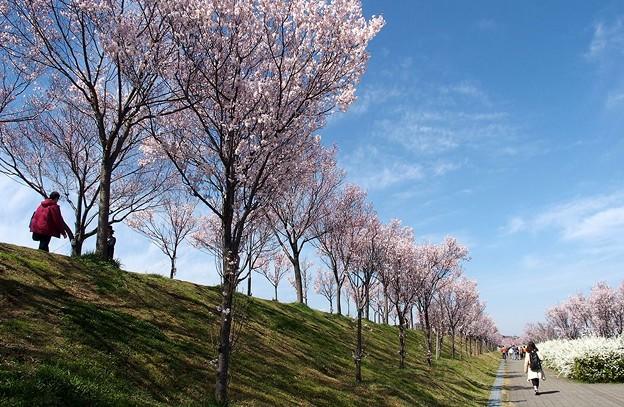 桜と雪柳の共演