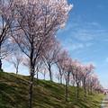 写真: 桜と雪柳の共演