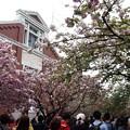造幣局桜の通り抜け。