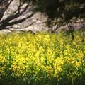 写真: 菜の花へバトンタッチ