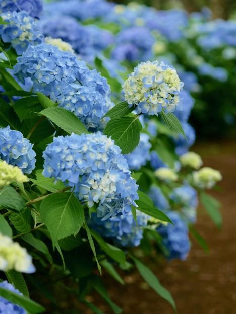 青い紫陽花につつまれて
