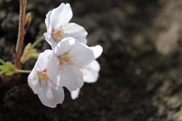 山手公園の桜4