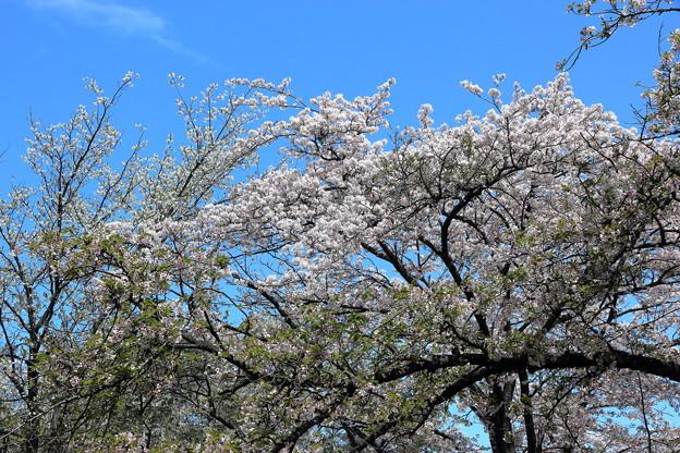 桜並木の下で