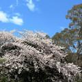 桜とユーカリ